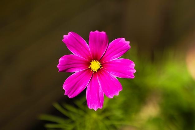 コスメヤ。暗い自然にピンクの紫色の花のクローズアップ