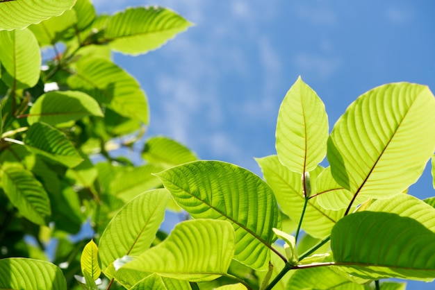 Kratom or mitragyna speciosa branch green leaves on natural background.