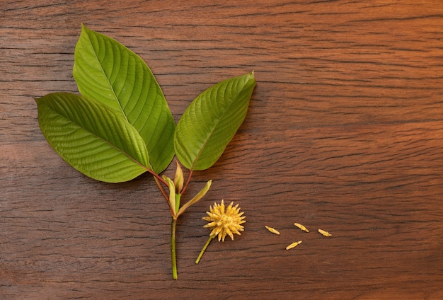 Kratom or mitragyna speciosa branch green leaves on an old wooden background.top view,flat lay.