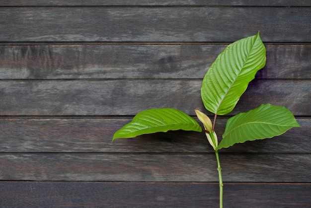 Kratom or mitragyna speciosa branch green leaves on an old wooden background.