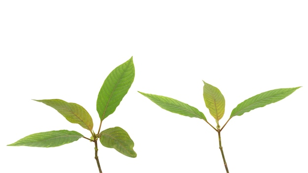 Листья зеленого цвета ветви кратома или mitragyna speciosa изолированные на белой предпосылке с путем клиппирования.
