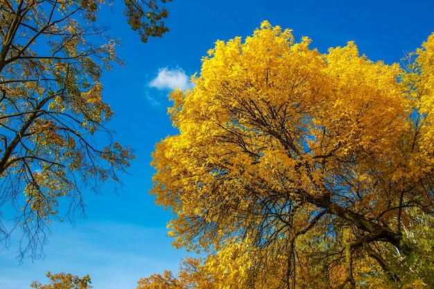 青い空を背景に黄色の葉を持つ秋の木のクローネ