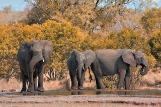 Kruger park elephants  black