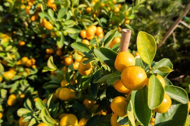 금귤 과일, 포르투넬라 마가리타 금귤, 금귤 잎과 금귤 난쟁이 나무에 있는 타원형 과일, 클로즈업