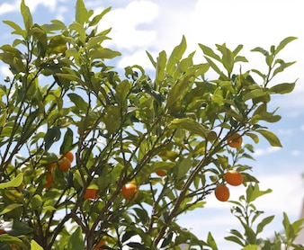 Kumquat in the plant