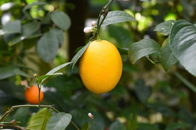 枝に生えているキンカンまたはシトラスジャポニカの果実