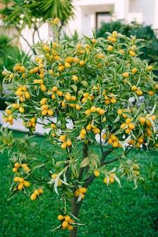 Кумкват или дерево фортунелла со спелыми плодами апельсина на ветвях в саду
