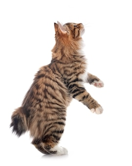 Kurilian bobtail in front of white space