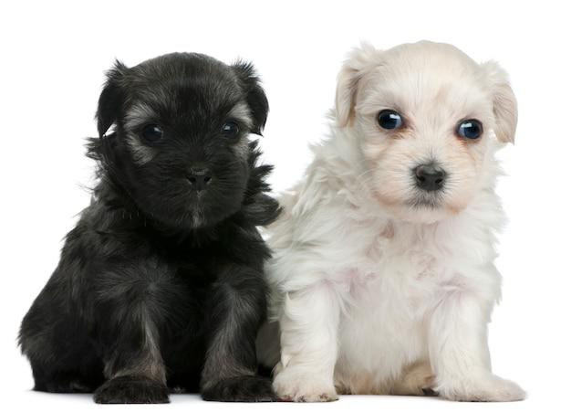 레첸 또는 쁘띠 치엔 사자 또는 작은 사자 개 강아지 (3 주 이전)