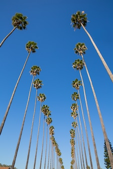 La los angeles palm trees in a row typical california