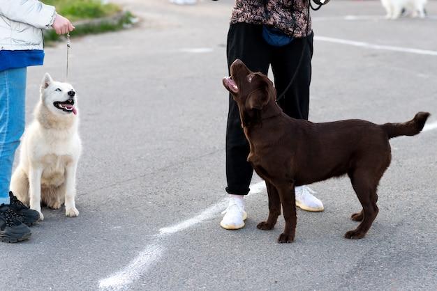 Лабрадор и хаски на прогулке, на поводке. фото высокого качества Premium Фотографии