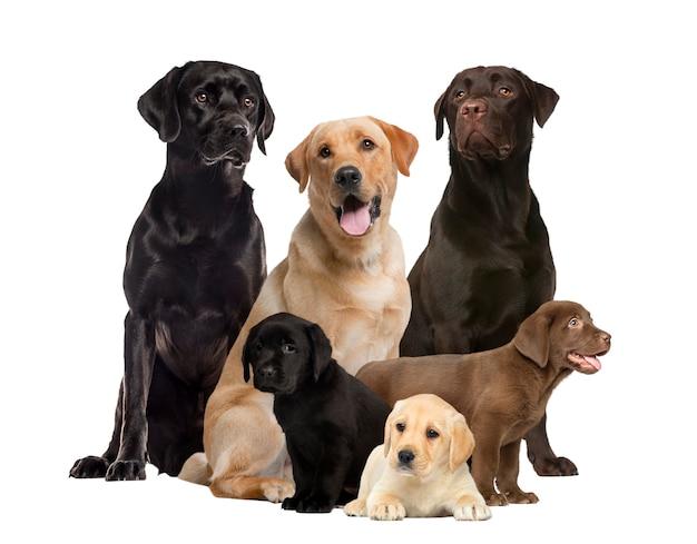 白で隔離のラブラドールと子犬