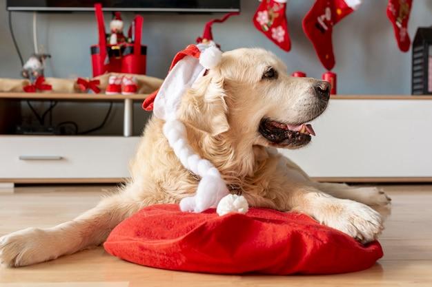 Лабрадор дома в новогодней шапке