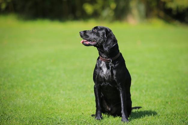 Labrador attentive