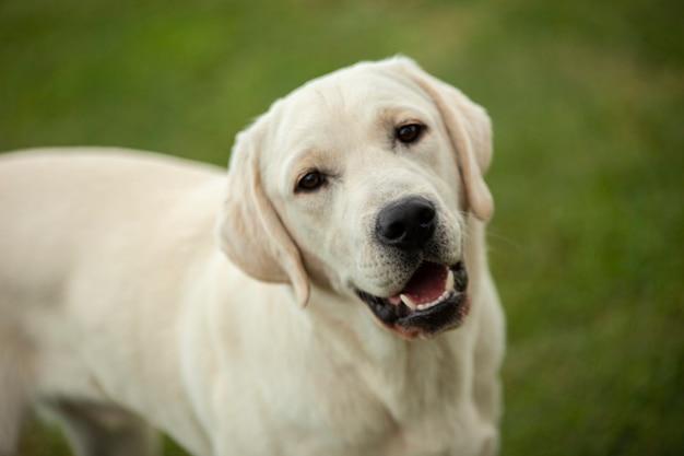 Лабрадор собака крупным планом портрет на фоне сельской местности