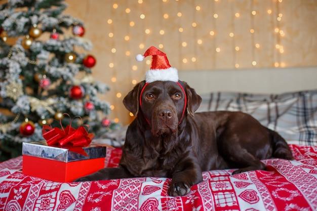 クリスマスツリーサンタのクリスマス帽子の近くの寝室のラブラドール犬