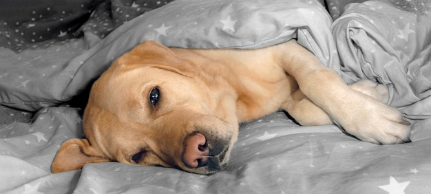 Labrador dog lies on the bedding on the bed.