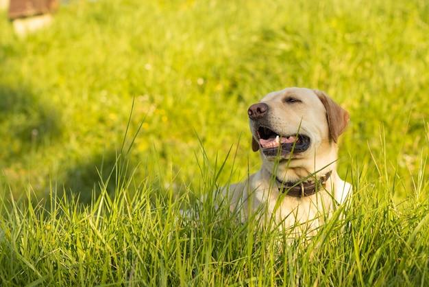 Лабрадор собака лежит в траве в солнечный день