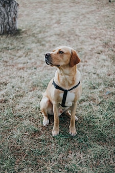 The labrador dog sitting on the grass in the forest trained dog concept