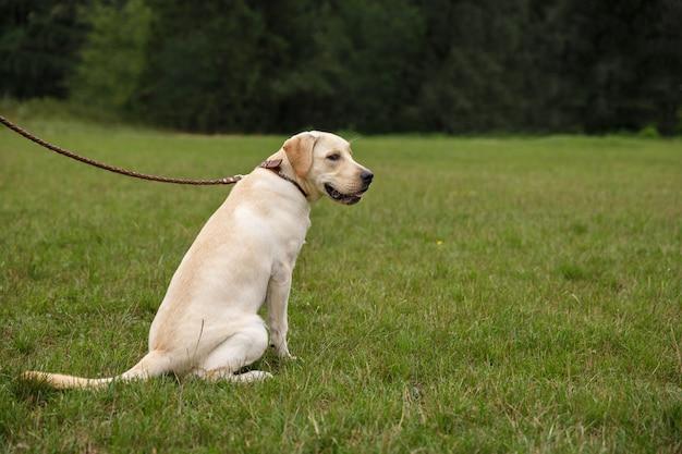 草の上に座っているラブラドール犬