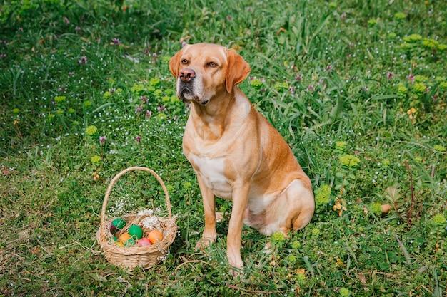 Лабрадор собака сидит с пасхальными яйцами на лужайке на траве пасха домашние животные концепция