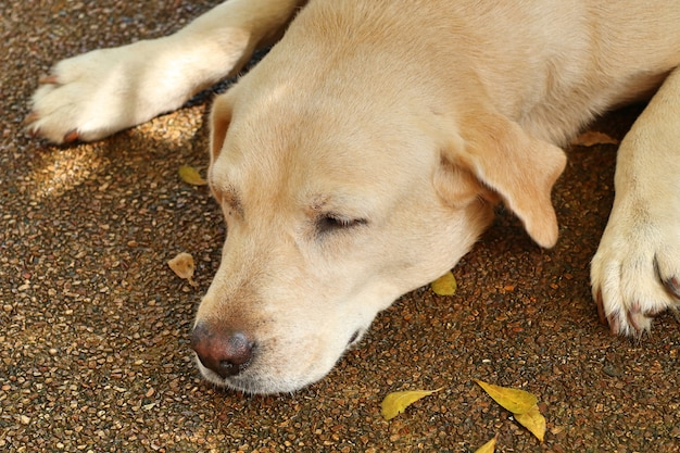 Labrador dog  to sleeping