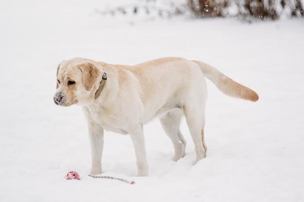 Labrador dog in the snow beautiful winter