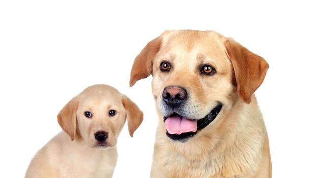 흰색 배경에 고립 된 래브라도 개