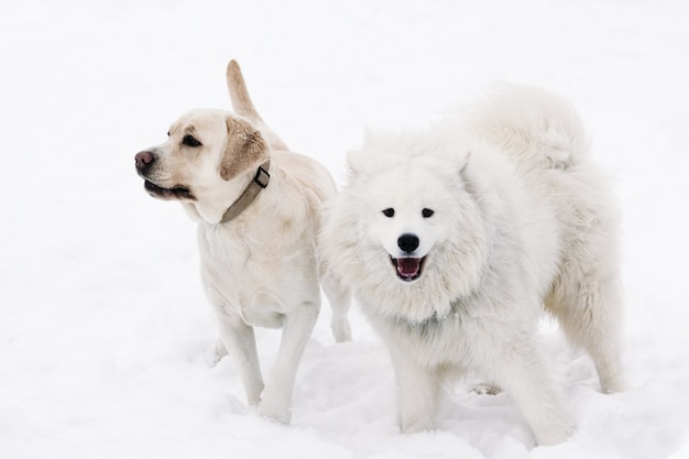 Labrador dogs and samoyed on a snowy background