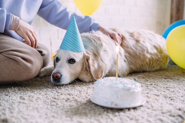 Labrador golden retriever dog celebrates birthday in a cap and with cake