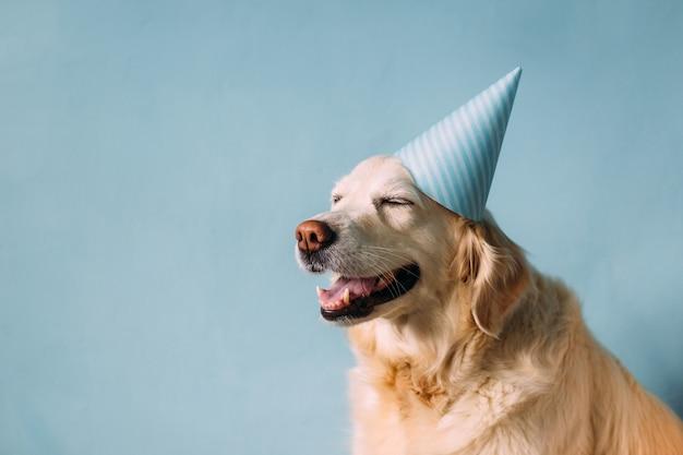 Labrador golden retriever dog celebrates birthday in a cap
