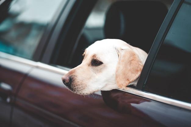 Labrador looks in the car window