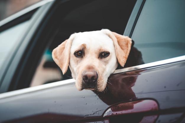 Лабрадор смотрит в окно машины