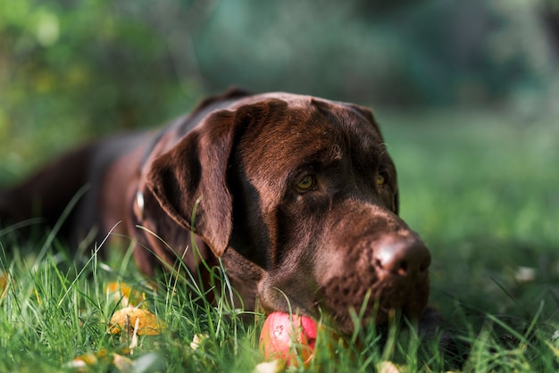 Labrador lying on green grass with ball
