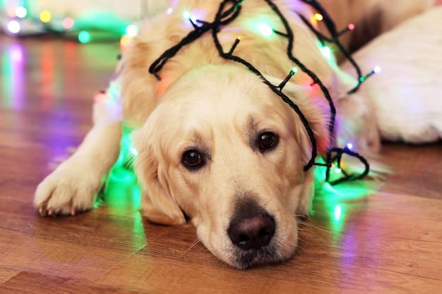 Лабрадор, лежащий с гирляндой на деревянном полу на фоне рождественских украшений