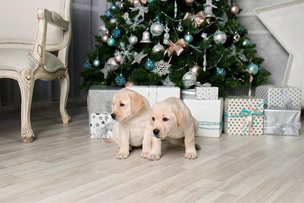 Щенки лабрадора рядом с подарками под елкой