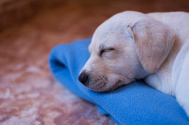 Labrador puppy dog, blond-haired, asleep on his blue blanket at home.