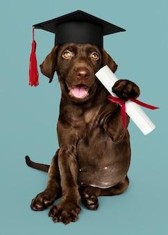 Labrador puppy graduating