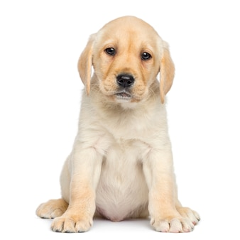 Labrador puppy sitting and facing isolated on white