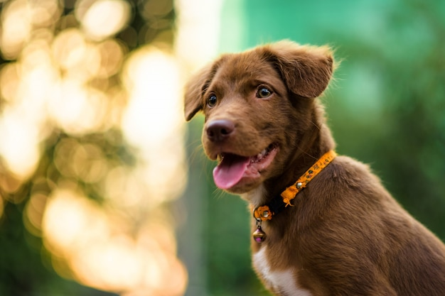 Labrador puppy with foliage sunset bokeh