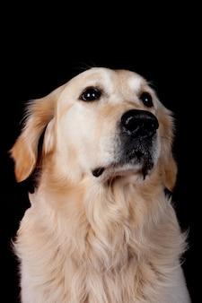 Labrador retriever on black