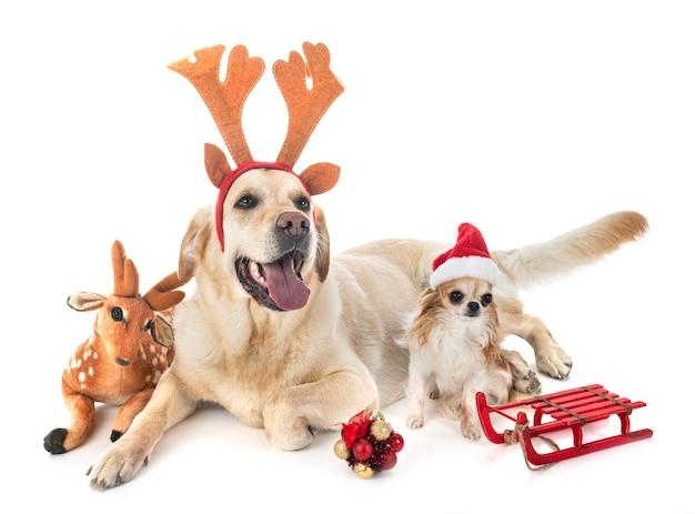 Labrador retriever and chihuahua Premium Photo