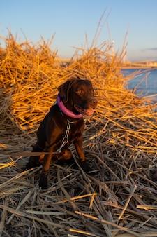 海や湖のほとりのラブラドールレトリバー犬は日没時に乾いた草の中に座っています