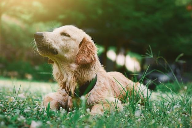 ラブラドールレトリバー犬の子犬座って、自然の背景に、庭で何かを見て