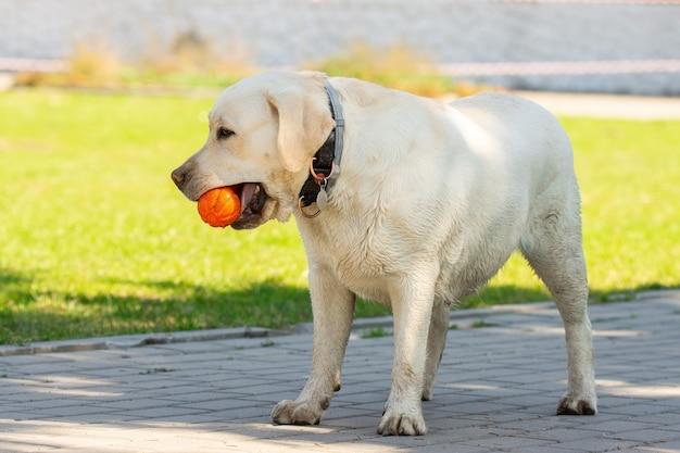 ボールを持つラブラドールレトリーバー犬