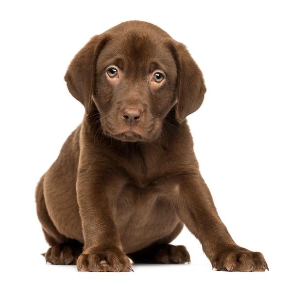 ラブラドールレトリバーの子犬が座って向き合う