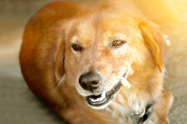 Labrador retriever's dog chewing snack gourmet