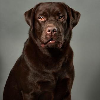 Labrador retriever studio portrait