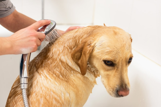 Labrador retriever taking a bath.