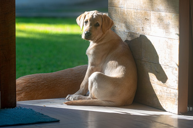 Labrador retriver puppy resting at the door of the house